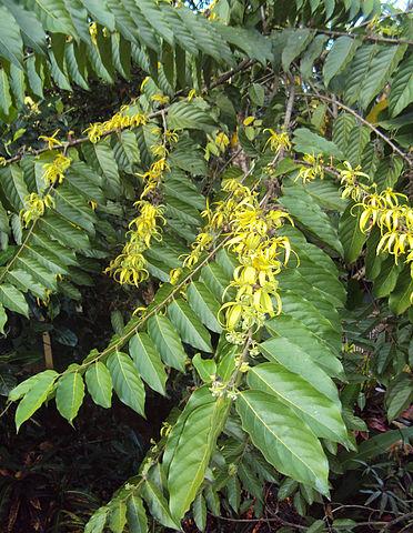 Cananga odorata (Кананга душистая) - ветки