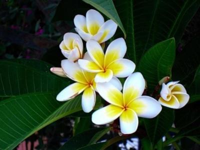Plumeria Alba Flower