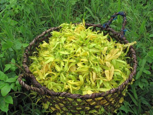 Корзина свежесобранных цветов иланг-иланг