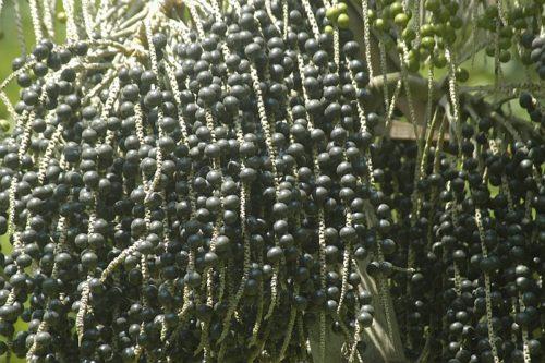 ягоды асаи на ветках пальмы